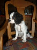 Foto 2 Cavalier King Charles Spanielwelpe Sammy, stubenrein, leinenführig, kinderlieb