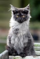 Charaktervolle Maine Coon Kitten