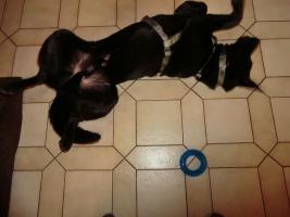 Foto 8 Chester, Schäferhundmischling