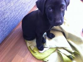 Chico kleiner Labradormischlingswelpe