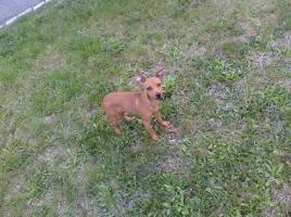 Foto 2 Chihuahu sucht ein neues zu Hause!