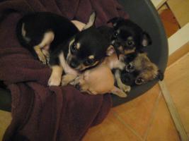 Foto 2 Chihuahua Babies