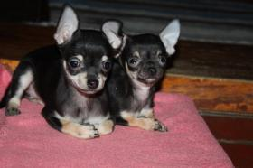 Foto 2 Chihuahua Babys
