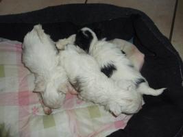 Foto 2 Chihuahua und Chihuahua Mix Welpen