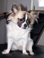Foto 2 Chihuahua Deckrüde Bobby