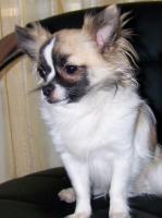 Foto 3 Chihuahua Deckrüde Bobby