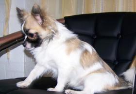 Foto 4 Chihuahua Deckrüde Bobby