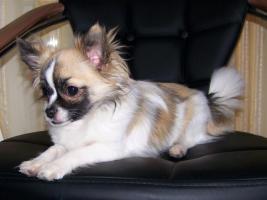 Foto 5 Chihuahua Deckrüde Bobby