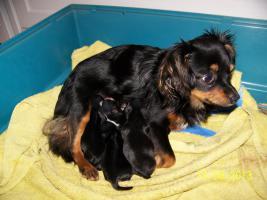 Foto 6 Chihuahua Deckrüde Bobby