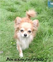 Foto 2 Chihuahua Deckrüde Int.Ehrenchamp. silber hat noch Termine frei