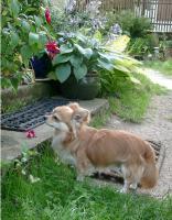 Foto 4 Chihuahua Deckrüde Int.Ehrenchamp. silber hat noch Termine frei
