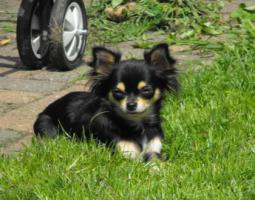 Foto 2 Chihuahua Hündin