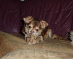 Chihuahua Hündin 6 Monate