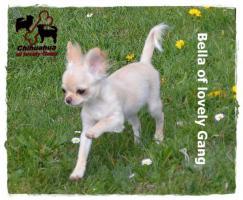 Chihuahua Hündin creme-weiß 17 Wochen sucht liebevolles zu Hause!