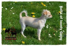 Foto 7 Chihuahua Hündin creme-weiß 17 Wochen sucht liebevolles zu Hause!