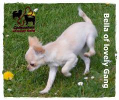 Foto 8 Chihuahua Hündin creme-weiß 17 Wochen sucht liebevolles zu Hause!