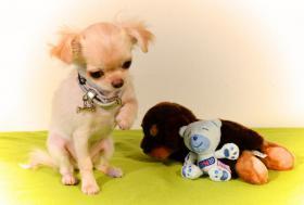 Foto 12 Chihuahua Hündin creme-weiß 17 Wochen sucht liebevolles zu Hause!