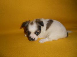 Chihuahua Hündin sucht liebevolle Besitzer