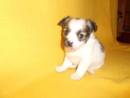 Foto 2 Chihuahua Hündin sucht liebevolle Besitzer