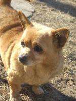 Foto 2 Chihuahua Hündin sucht neues Zuhause