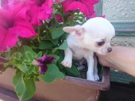 Foto 3 Chihuahua Kurzhaar Rüde mit Papiere