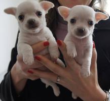 Chihuahua Kurzhaar Welpen FCI