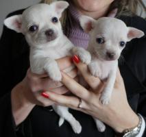 Foto 2 Chihuahua Kurzhaar Welpen FCI