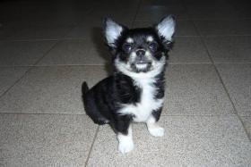 Chihuahua Langhaar mit Papiere