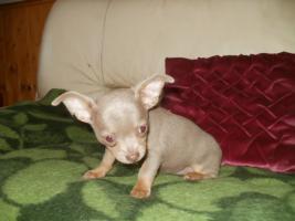 Foto 2 Chihuahua Luxus Welpen