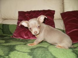 Foto 3 Chihuahua Luxus Welpen