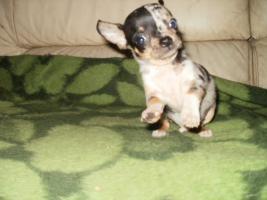 Foto 5 Chihuahua Luxus Welpen