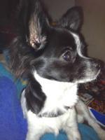 Foto 2 Chihuahua-Mädchen suchen neuen Wirkungskreis