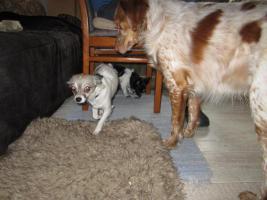 Foto 5 Chihuahua-Mädchen suchen neuen Wirkungskreis