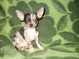 Chihuahua Merle Welpen