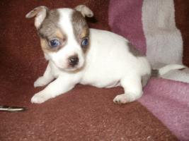 Foto 4 Chihuahua Merle Welpen