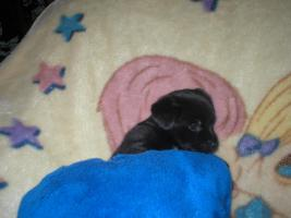 Foto 7 Chihuahua-Mix