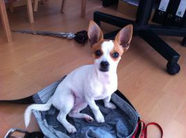 Foto 2 Chihuahua-Mix