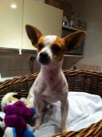 Foto 3 Chihuahua-Mix