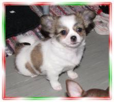 Foto 3 Chihuahua Mix Welpen