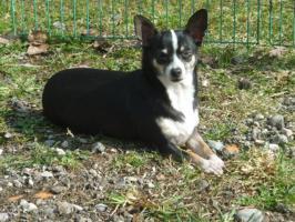 Chihuahua Nicky, kurzhaar, 5 Jahre