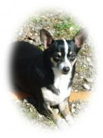 Foto 2 Chihuahua Nicky, kurzhaar, 5 Jahre
