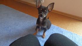 Foto 2 Chihuahua Rüde