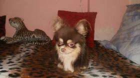 Chihuahua Rüde schocko-creme