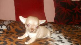 Foto 3 Chihuahua Rüde schocko-creme