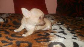 Foto 4 Chihuahua Rüde schocko-creme