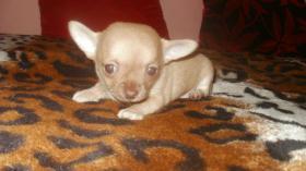 Foto 5 Chihuahua Rüde schocko-creme