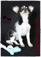 Foto 2 Chihuahua Rüde tricolor - KEINE Dilution 17 Wochen sucht liebevolles zu Hause!