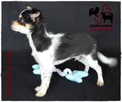 Foto 3 Chihuahua Rüde tricolor - KEINE Dilution 17 Wochen sucht liebevolles zu Hause!