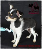 Foto 4 Chihuahua Rüde tricolor - KEINE Dilution 17 Wochen sucht liebevolles zu Hause!