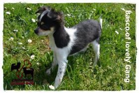 Foto 5 Chihuahua Rüde tricolor - KEINE Dilution 17 Wochen sucht liebevolles zu Hause!